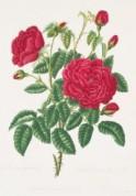 Rosa_'Gros_Choux_d'Hollande'