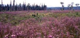 thistle field